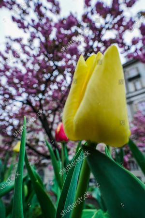 Editorial photo of Tulips in Turin due to cCoronavirus in Italy - 30 Mar 2020
