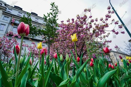 Editorial picture of Tulips in Turin due to cCoronavirus in Italy - 30 Mar 2020