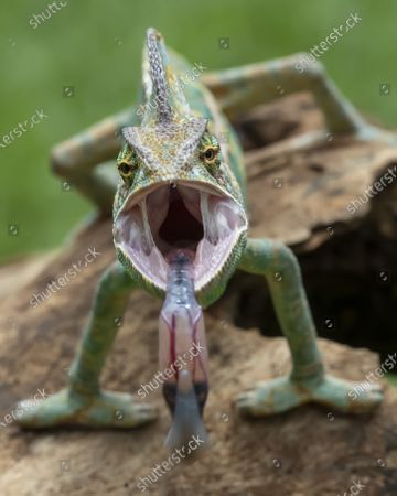 SAY AHH! Image 4 of 4 A chameleon looks like it is screaming as it opens its mouth wide.  The colourful reptile displayed its long tongue while opening its jaws in front of the camera. The veiled chameleon was perched on a branch in Jakarta, Indonesia, when it attempted to grab prey with its tongue.   The shots are of professional photographer Tanto Yensen's own pet