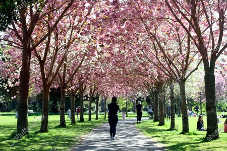 A woman takes photographs with her phone of pink cherry blossom in Herbert Park in Dublin, Ireland, 11 April 2020. Irish Prime Minister Leo Varadkar announced a further extension to the restrictions on movment due to the coronavirus Covid-19 pandemic until 11 May 2020.