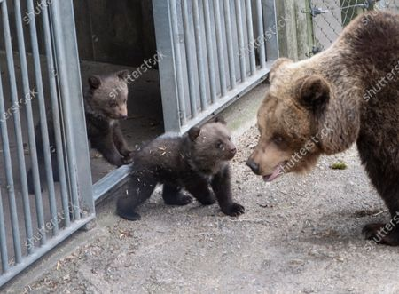 Five cute bear cubs have made their first public appearance at Skansen open-air museum. The cubs were born in January have stayed inside with their mother Lill-Babs until now.