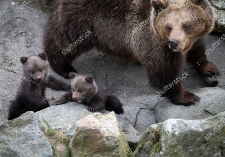 Stock Photo of Five cute bear cubs have made their first public appearance at Skansen open-air museum. The cubs were born in January have stayed inside with their mother Lill-Babs until now.