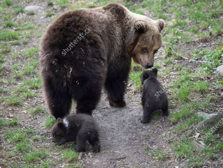 Stock Picture of Five cute bear cubs have made their first public appearance at Skansen open-air museum. The cubs were born in January have stayed inside with their mother Lill-Babs until now.