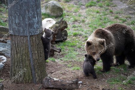 Editorial picture of Bear cubs first public appearance at Zoo, Stockholm, Sweden - 14 Apr 2020