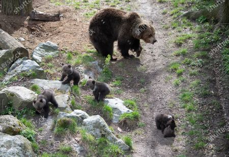 Editorial photo of Bear cubs first public appearance at Zoo, Stockholm, Sweden - 14 Apr 2020