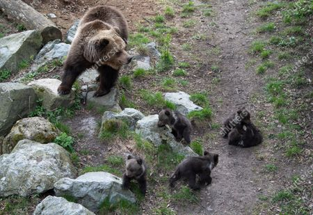 Stock Image of Five cute bear cubs have made their first public appearance at Skansen open-air museum. The cubs were born in January have stayed inside with their mother Lill-Babs until now.
