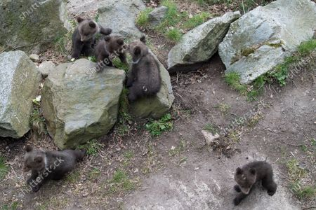 Editorial image of Bear cubs first public appearance at Zoo, Stockholm, Sweden - 14 Apr 2020