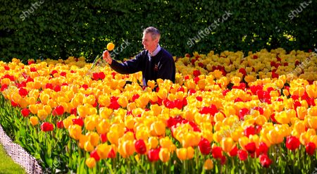 """Martin Duncan, head gardener at Arundel Castle in West Sussex, tends to the 80,000 tulips that are currently in bloom. Visitors would normally see the spectacular display as part of the annual tulip festival which is closed due to Coronavirus. The stunning labyrinth of tulips photographed by drone adds a unique aerial perspective as it sits in front of Arundel Cathedral of Our Lady and Saint Philip Howard.""""We're grateful to have such a wonderful array of tulips and spring flowers to inspire and cheer us all up at this time, yet we are greatly missing welcoming our first visitors of spring."""" Martin Duncan, head gardener. New photos of the display will be made available to give visitors a virtual tour online."""