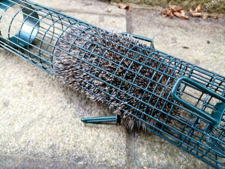 Editorial image of Hedgehog gets stuck in bird feeder, Horsham, West Sussex, UK  - 10 Apr 2020