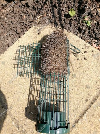 'He was discovered in the metal bird feeder which was lying on the ground in a garden in Pondtail Road.RSPCA inspector Tony Woodley, who went to help the stricken animal, said: 'The poor little hog had pushed his way right into the middle of a long, metal-wire feeder and found himself stuck in the narrow tube, his spines wedging him in. 'The caller had spotted him that morning but wasn't sure how long he'd been there for. 'Thankfully, I managed to cut the wire, remove a section of the feeder and peel it back so I could carefully free the hedgehog.