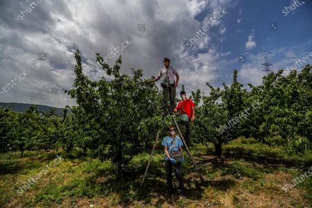 Several farmers work in seasonal cherry harvesting at a plantation in the village of Rebollar, in the Valle del Jerte valley, western Spain, 04 May 2020 (issued 05 May 2020). The seasonal cherry harvest campaign faces a challenge amid the COVID-19 disease pandemic with lack of seasonal workers due to borders clousure. Spain is under a nationwide lockdown to avoid the spreading of the coronavirus disease (COVID-19) pandemic, which is caused by the SARS-CoV-2 coronavirus.