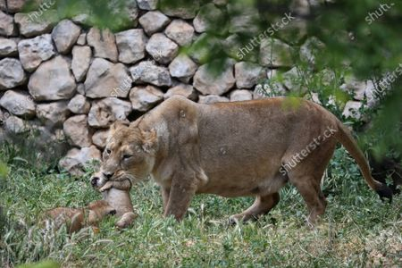 A female Asiatic lion (Panthera leo leo) interacts with her two six-week-old cubs at the Jerusalem Biblical Zoo in Jerusalem, Israel, 06 May 2020. The cubs were born while the Jerusalem Biblical Zoo was closed to visitors due to the ongoing pandemic of the COVID-19 disease caused by the SARS-CoV-2 coronavirus.
