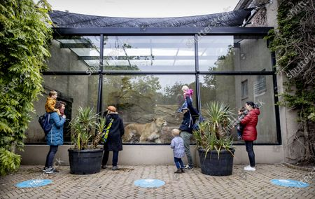 Visitors observe a female African lion (Panthera leo leo) in her enclosure at the Artis Zoo in Amsterdam, The Netherlands, 13 May 2020. The zoo has reopened - though only members are allowed access for now - after shutting down on 16 March due to the pandemic of the COVID-19 disease caused by the SARS-CoV-2 coronavirus.