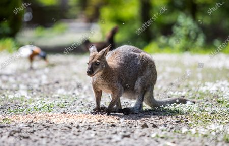 Wallaby Stock Photos Editorial Images And Stock Pictures Shutterstock