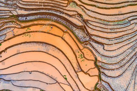 Stock Picture of Colourful rice fields create a mesmerising landscape as they stretch across the slopes of a green valley.  Silt mixes with the brown dirt to form different hues while the sun reflects off the shallow water.  The beautiful images were captured in north west Vietnam at the height of the rice harvesting season.
