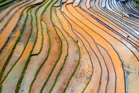 Stock Image of Colourful rice fields create a mesmerising landscape as they stretch across the slopes of a green valley.  Silt mixes with the brown dirt to form different hues while the sun reflects off the shallow water.  The beautiful images were captured in north west Vietnam at the height of the rice harvesting season.