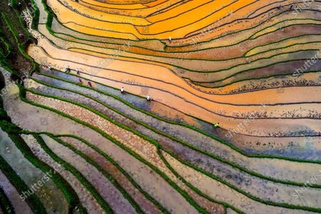 Editorial picture of Colourful rice fields, Vietnam - 20 May 2020
