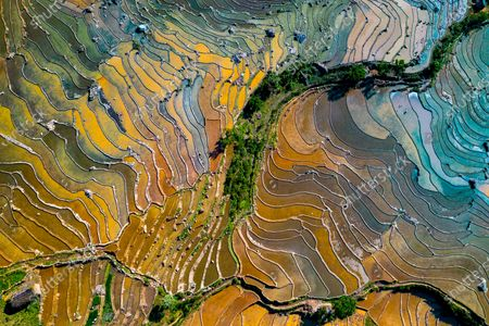 Stock Photo of Colourful rice fields create a mesmerising landscape as they stretch across the slopes of a green valley.  Silt mixes with the brown dirt to form different hues while the sun reflects off the shallow water.  The beautiful images were captured in north west Vietnam at the height of the rice harvesting season.