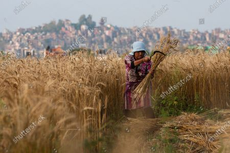 A woman harvests wheat at a paddy field during the 60th day of a nationwide lockdown imposed by the government following concerns about the spread of the coronavirus (COVID -19) disease.