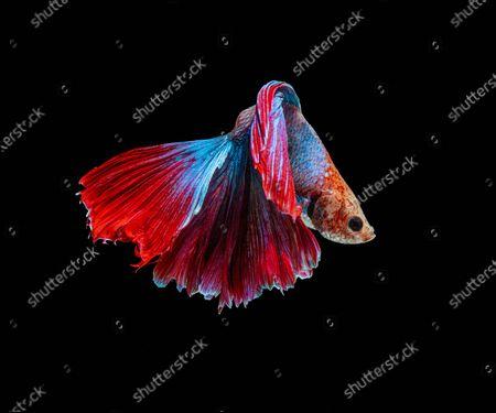 Editorial photo of Betta fish, Karawang, West Java, Indonesia - 22 May 2020