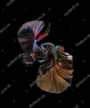 Stock Picture of Stunning photos show the spectacular colours and flowing dress-like tails of the Betta fish. The 'Siamese fighting fish' are known to be extremely aggressive despite their beautiful appearance.  Their tails will flare and become even longer when the notoriously violent fighters compete against other males in the same territory The unique images were captured in the freshwater trenches of a river in Karawang in West Java, Indonesia.