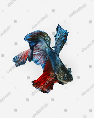 Stock Image of Stunning photos show the spectacular colours and flowing dress-like tails of the Betta fish. The 'Siamese fighting fish' are known to be extremely aggressive despite their beautiful appearance.  Their tails will flare and become even longer when the notoriously violent fighters compete against other males in the same territory The unique images were captured in the freshwater trenches of a river in Karawang in West Java, Indonesia.