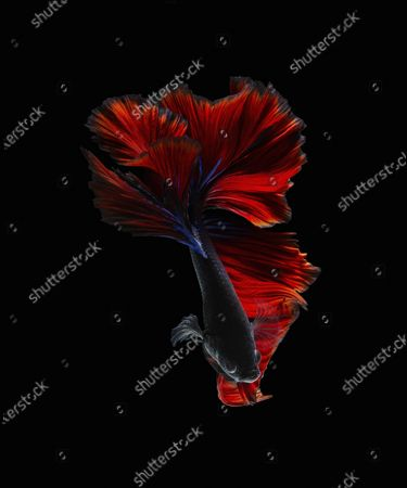 Stock Photo of Stunning photos show the spectacular colours and flowing dress-like tails of the Betta fish. The 'Siamese fighting fish' are known to be extremely aggressive despite their beautiful appearance.  Their tails will flare and become even longer when the notoriously violent fighters compete against other males in the same territory The unique images were captured in the freshwater trenches of a river in Karawang in West Java, Indonesia.
