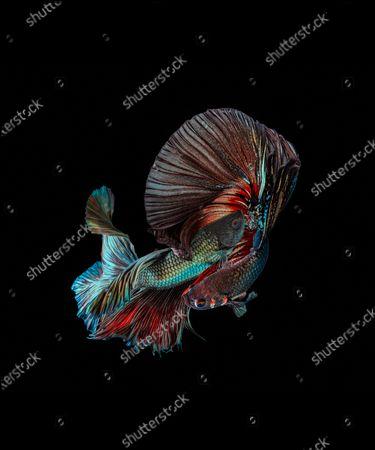 Editorial image of Betta fish, Karawang, West Java, Indonesia - 22 May 2020