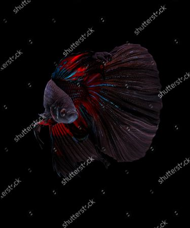 Editorial picture of Betta fish, Karawang, West Java, Indonesia - 22 May 2020
