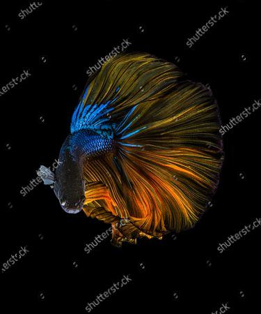 Stunning photos show the spectacular colours and flowing dress-like tails of the Betta fish. The 'Siamese fighting fish' are known to be extremely aggressive despite their beautiful appearance.  Their tails will flare and become even longer when the notoriously violent fighters compete against other males in the same territory The unique images were captured in the freshwater trenches of a river in Karawang in West Java, Indonesia.