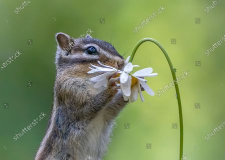Chipmunk eating a flower, Netherlands