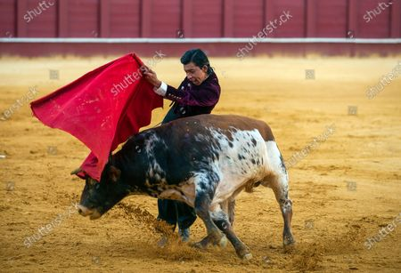 Peruvian student of Malaga bullfighting school Julio Alguiar performs with a steer during a masterclass of bullfighting at an empty La Malagueta bull ring as partial lockdown continues in the country amid coronavirus disease.Spanish bullfighter Fernando Rey has given a masterclass with students of the bullfighting school without the presence of spectators as a measure to prevent the spread of coronavirus. This situation shows an empty bullring and being the first bullfighting event in the city since they started the emergency state.