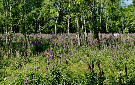 Foxglove (Digitalis) grow wild in the woods in Deadman's Lane