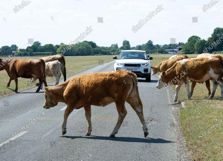 Cattle on Dorney Common Buckinghamshire stop traffic Editorial Stock Photo  - Stock Image  Shutterstock