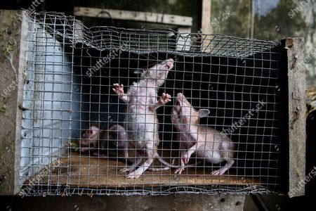 Stock Image of Rats raised in captivity for human consumption in N'ziaounouan outside Abidjan, Ivory Coast, 10 June 2020 (issued 12 June 2020). For centuries across West Africa wildlife has been traded for food in the culturally accepted business of bushmeat sales. For many families in rural areas this old tradition of hunting and selling bushmeat is their single means of income. The World Animal Protection is calling for a stop on all wildlife trade. The charity is driving a campaign to support a global trade ban for wildlife at the G20 meeting of world leaders in November to protect wildlife and help prevent future zoonotic pandemics. According to World Animal Protection wild animals captured from their natural habitat or bred in captivity are typically placed in cramped cages and unhygenic conditions causing suffering and creating a lethal hotbed of disease. This can harm humans when coming into contact with them as occurred with Covid-19.