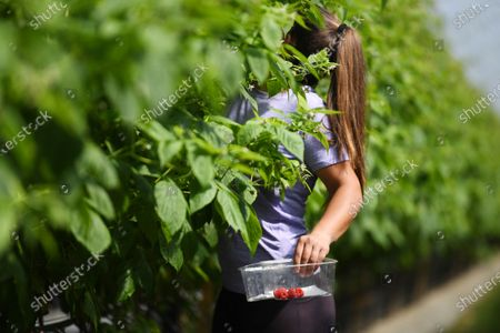 A seasonal worker picks raspberries at Winterwood fruit farm near Maidstone, Britain, 22 June 2020. Winterwood farm manager Stephen Taylor notes that coronavirus restrictions on travel means that Polish, Bulgarian and Romanian workers, who traditionally pick, are unable to travel to the UK, for work. This growing season, the farm has been able to use a number of UK workers. In a normal season, around 80 pickers are used and only 2 are from England. However, in 2020, 40 pickers are English and are local to the farm area. The UK based pickers are a mixture of workers furloughed by coronavirus and students unable to travel or work in the hospitality sector. Taylor cautions the idea that this new recruitment will solve issues with seasonal working due to Brexit, as the influx of available workers is directly related to coronavirus.