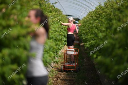 Seasonal workers pick raspberries at Winterwood fruit farm near Maidstone, Britain, 22 June 2020. Winterwood farm manager Stephen Taylor notes that coronavirus restrictions on travel means that Polish, Bulgarian and Romanian workers, who traditionally pick, are unable to travel to the UK, for work. This growing season, the farm has been able to use a number of UK workers. In a normal season around 80 pickers are used and only 2 are from England. However, in 2020, 40 pickers are English and are local to the farm area. The UK based pickers are a mixture of workers furloughed by coronavirus and students unable to travel or work in the hospitality sector. Taylor cautions the idea that this new recruitment will solve issues with seasonal working due to Brexit, as the influx of available workers is directly related to coronavirus.