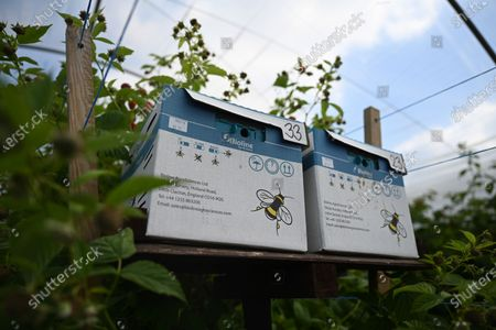 Stock Photo of Bees for pollination amongst raspberries at Winterwood fruit farm near Maidstone, Britain, 22 June 2020. Winterwood farm manager Stephen Taylor notes that coronavirus restrictions on travel means that Polish, Bulgarian and Romanian workers, who traditionally pick, are unable to travel to the UK, for work. This growing season, the farm has been able to use a number of UK workers. In a normal season around 80 pickers are used and only 2 are from England. However, in 2020, 40 pickers are English and are local to the farm area. The UK based pickers are a mixture of workers furloughed by coronavirus and students unable to travel or work in the hospitality sector. Taylor cautions the idea that this new recruitment will solve issues with seasonal working due to Brexit, as the influx of available workers is directly related to coronavirus.