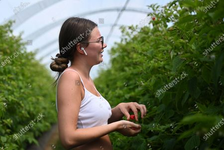 A seasonal worker checks raspberries into at Winterwood fruit farm near Maidstone, Britain, 22 June 2020. Winterwood farm manager Stephen Taylor notes that coronavirus restrictions on travel means that Polish, Bulgarian and Romanian workers, who traditionally pick, are unable to travel to the UK, for work. This growing season, the farm has been able to use a number of UK workers. In a normal season around 80 pickers are used and only 2 are from England. However, in 2020, 40 pickers are English and are local to the farm area. The UK based pickers are a mixture of workers furloughed by coronavirus and students unable to travel or work in the hospitality sector. Taylor cautions the idea that this new recruitment will solve issues with seasonal working due to Brexit, as the influx of available workers is directly related to coronavirus.
