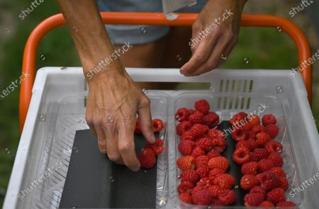Seasonal worker Becky Pavey picks raspberries at Winterwood fruit farm near Maidstone, Britain, 22 June 2020. Winterwood farm manager Stephen Taylor notes that coronavirus restrictions on travel means that Polish, Bulgarian and Romanian workers, who traditionally pick, are unable to travel to the UK, for work. This growing season, the farm has been able to use a number of UK workers. In a normal season around 80 pickers are used and only 2 are from England. However, in 2020, 40 pickers are English and are local to the farm area. The UK based pickers are a mixture of workers furloughed by coronavirus and students unable to travel or work in the hospitality sector. Taylor cautions the idea that this new recruitment will solve issues with seasonal working due to Brexit, as the influx of available workers is directly related to coronavirus. Seasonal worker Becky Pavey, 49, is a sports massage therapist but due to coronavirus could not run her business. She will work the whole picking season depending on government advice but will not star as soon as possible as her job is high personal contact with people.
