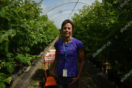 Seasonal worker Becky Pavey poses for a portrait as she picks raspberries at Winterwood fruit farm near Maidstone, Britain, 22 June 2020. Winterwood farm manager Stephen Taylor notes that coronavirus restrictions on travel mean that Polish, Bulgarian and Romanian workers, who traditionally pick, are unable to travel to the UK, for work. This growing season, the farm has been able to use a number of UK workers. In a normal season, around 80 pickers are used and only 2 are from England. However, in 2020, 40 pickers are English and are local to the farm area. The UK based pickers are a mixture of workers furloughed by coronavirus and students unable to travel or work in the hospitality sector. Taylor cautions the idea that this new recruitment will solve issues with seasonal working due to Brexit, as the influx of available workers is directly related to coronavirus. Seasonal worker Becky Pavey, 49, is a sports massage therapist but due to coronavirus could not run her business. She will work the whole picking season depending on government advice but will not start as soon as possible, as her job is high personal contact with people.