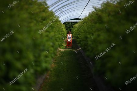 A seasonal worker picks raspberries at Winterwood fruit farm near Maidstone, Britain, 22 June 2020. Winterwood farm manager Stephen Taylor notes that coronavirus restrictions on travel means that Polish, Bulgarian and Romanian workers, who traditionally pick, are unable to travel to the UK, for work. This growing season, the farm has been able to use a number of UK workers. In a normal season around 80 pickers are used and only 2 are from England. However, in 2020, 40 pickers are English and are local to the farm area. The UK based pickers are a mixture of workers furloughed by coronavirus and students unable to travel or work in the hospitality sector. Taylor cautions the idea that this new recruitment will solve issues with seasonal working due to Brexit, as the influx of available workers is directly related to coronavirus.