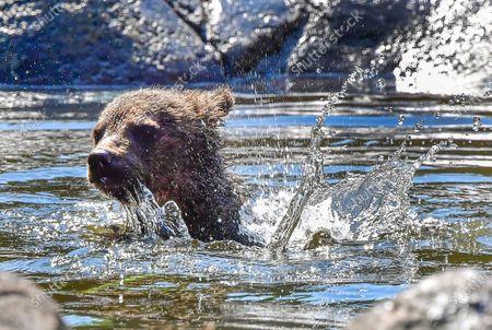 Editorial picture of Bears at Skansen zoo in Stockholm, Sweden - 25 Jun 2020