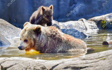 Editorial photo of Bears at Skansen zoo in Stockholm, Sweden - 25 Jun 2020