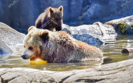 A bear cub warily tests the water as mama bear cools off in a pond in the bear enclosure at Stockholm Zoo Skansen as the temperature passed 30 degrees C.