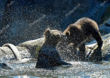 Stock Photo of A bear cub warily tests the water as mama bear cools off in a pond in the bear enclosure at Stockholm Zoo Skansen as the temperature passed 30 degrees C.