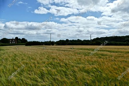 Wheat fields sway in the gusts