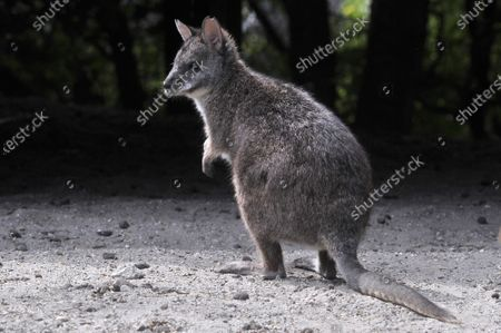 Wallabies Stock Pictures Editorial Images And Stock Photos Shutterstock
