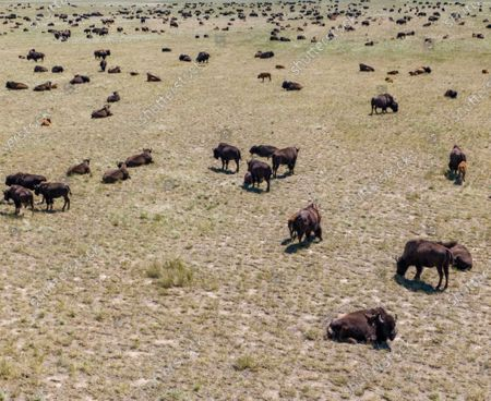 An image taken with a drone shows an aerial view of a herd of American bison (Bison bison), also known as buffaloes, grazing near Wright, Wyoming, USA, 05 July 2020. According to recent estimates, the number of these shaggy-haired bovines roaming throughout the US once reached 60 million before being hunted into near-extinction, leaving fewer than just 100 wild individuals in the 1880s. Today, the number of bison spread across the continent is estimated at around 500,000 specimens.