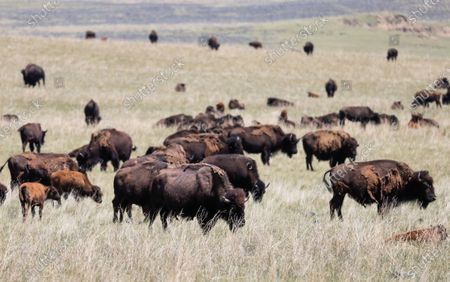 A herd of American bison (Bison bison), also known as buffaloes, grazes near Wright, Wyoming, USA, 05 July 2020. According to recent estimates, the number of these shaggy-haired bovines roaming throughout the US once reached 60 million before being hunted into near-extinction, leaving fewer than just 100 wild individuals in the 1880s. Today, the number of bison spread across the continent is estimated at around 500,000 specimens.